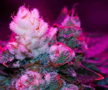 ¿Cómo se forman las puntas blancas en los brotes de cannabis?