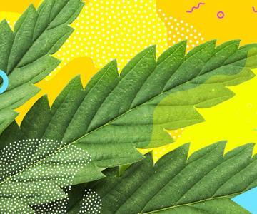 ¿Qué es el cannabis y qué es una variedad de cannabis?