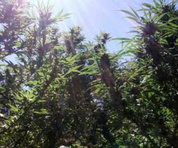 Cannabis Grow Light Breakdown: Calor, Costo y Rendimiento