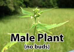 Male cannabis plant - does not produce buds