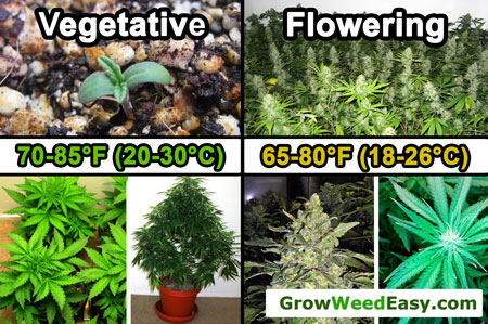 Optimal temperature for vegetative and flowering cannabis plants