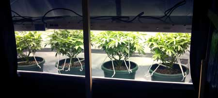 Example of a T5 grow light (fluorescent light fixture) - T5s can be kept very close to cannabis plants without worrying about burning them.