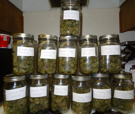 Put your buds in jars for the cannabis curing process - then open your jars daily for 1-2 weeks, and once a week after that!