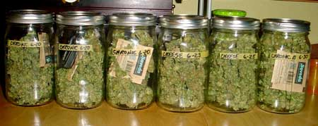 Cannabis buds being cured in jars with Boveda Medium 62 Humidipaks to control the humidity during the curing process