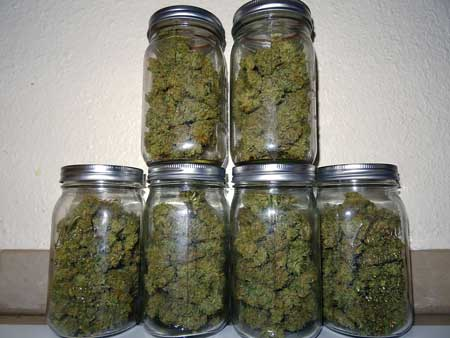 Example of cannabis buds curing in glass mason jars - perfect for long term storage!