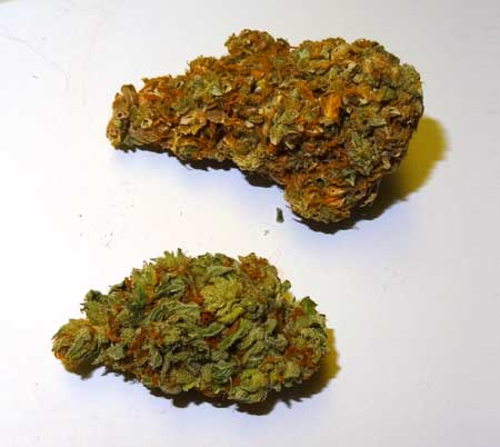 Light burned cannabis bud on top, and healthy cannabis bud below. The light burned bud has a brownish appearance, and yellow spots at the tops of sugar leaves