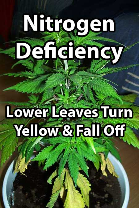 Picture by m&m - Maraijuana plant with nitrogen deficiency - older / lower leaves are turning yellow and falling off