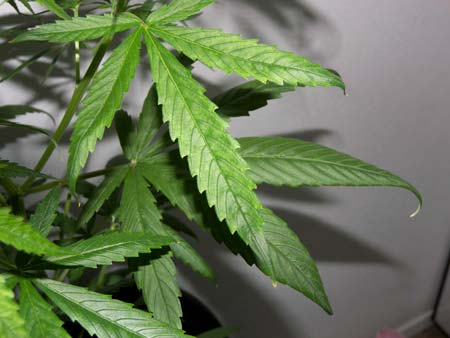 Example of a marijuana plant with nutrient burn on the tips. The clawing is caused by a Nitrogen toxicity