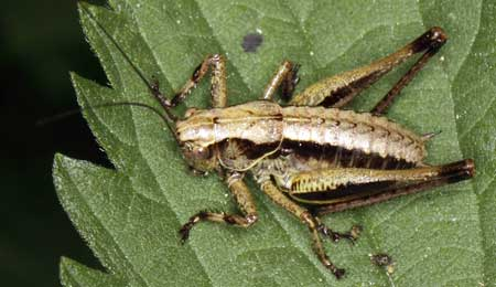 Example of a cricket in its larva form on a cannabis leaf