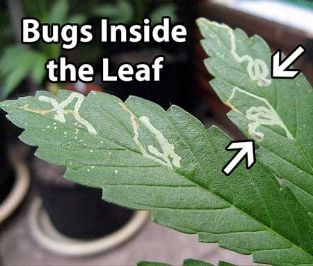 Example of leaf miner damage on a cannabis leaf - these pests leave little lines or trails where they have tunneled through your leaf