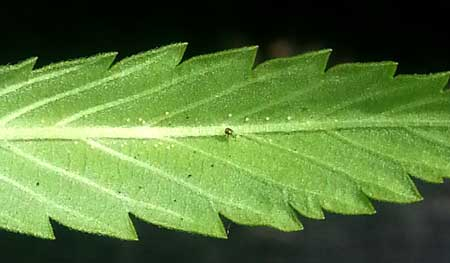 Example of spider mites and their eggs on the back of a cannabis leaf