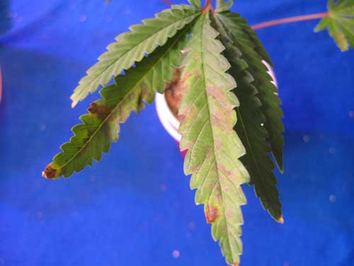 This marijuana plant leaves are showing signs of a phosphorus deficiency