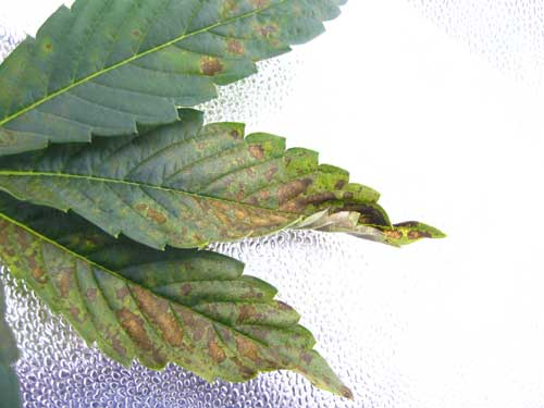 Cannabis phosphorus deficiency in vegetative stage - Brown splotches, dark bluish color, curling and affected parts of the leaf turn yellow.