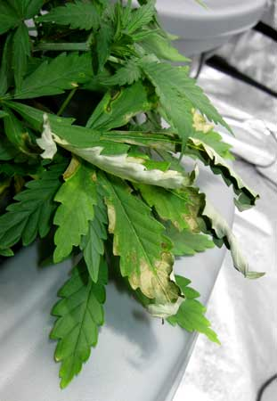 The burnt discolored leaves of a cannabis plant with root rot