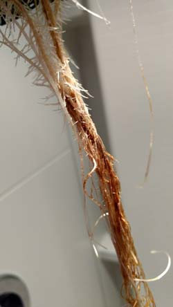 Example of twisted brown roots that are the result of cannabis root rot
