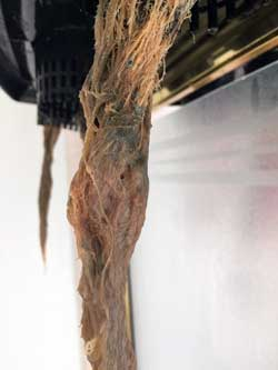 These cannabis roots are brown with root rot. Sick roots often look wound up or twisted like this, and the individual