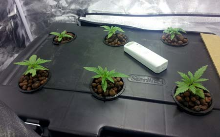Example of healthy cannabis seedlings in a sturdy tub - no light leaks!