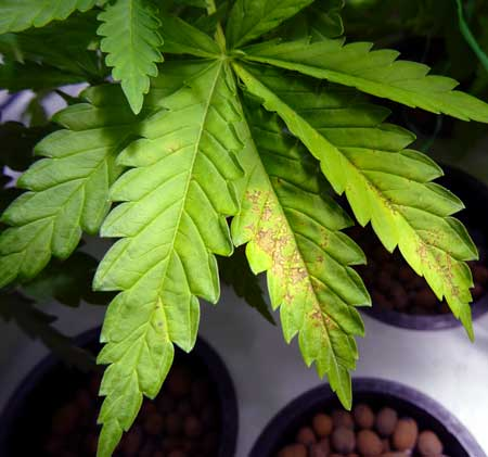 A calcium deficiency can appear on new growth as well as the actively growing part of a cannabis leaf like this lower fan leaf