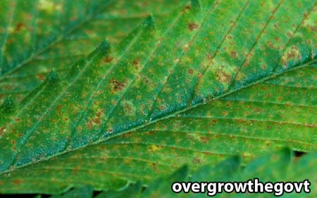 Marijuana Calcium Deficiency - Closeup of brown spots which first appear on young (upper) leaves