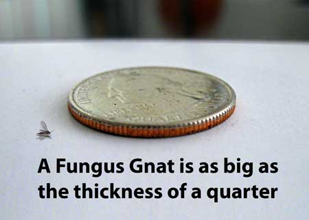 A cannabis fungus gnat is about the thickness of a quarter