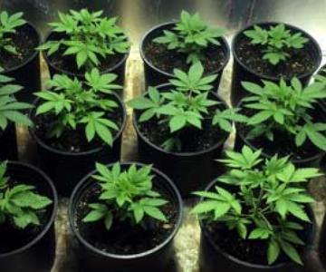 ¿Cuántas plantas de cannabis debo cultivar? (Para los mayores/rápidos rendimientos)