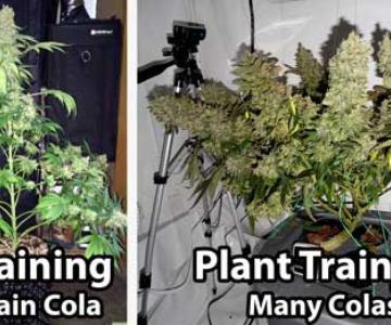 Guía Completa para el Entrenamiento en Planta de Cannabis