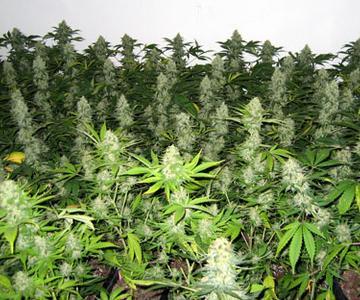 La guía de capacitación más simple sobre la planta de cannabis