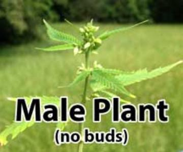 Plantas de cannabis masculinas vs. femeninas