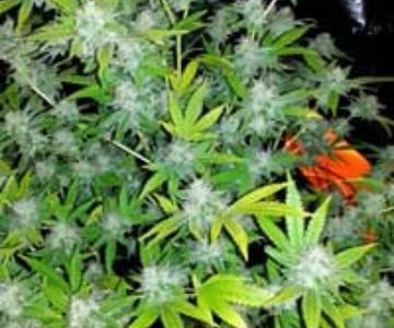Por qué las hojas de cannabis se vuelven amarillas