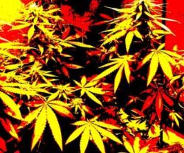 Super Cultivo de marihuana: Un simple secreto para obtener mayores rendimientos