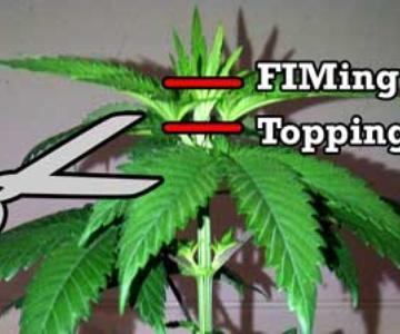 Topping vs FIMing Cannabis - Guía de instrucciones
