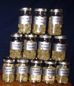 The cannabis harvest of a single Wonder Woman plant (in open-mouthed quart-sized mason jars)