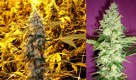 Get your feminized Wonder Woman seeds by Nirvana today!