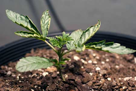 A cannabis seedling suffering from heat stress - notice how the edges are curling upwards