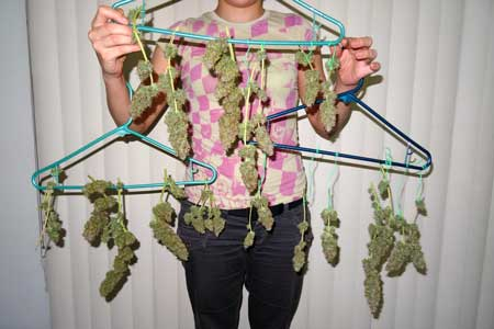 Holding up all the trimmed Sour Diesel auto-flowering buds after harvest