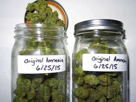 Jars full of Original Amnesia buds