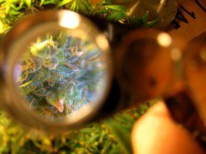 Looking at the trichomes on the plant through a magnifier. Trichomes are also known as crystals and resin glands depending on where you live.