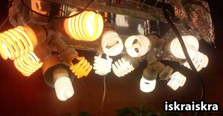 Example of a great CFL setup for growing cannabis plants by grower iskraiskra