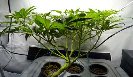 Example of a cannabis plant that has been trained to grow completely flat