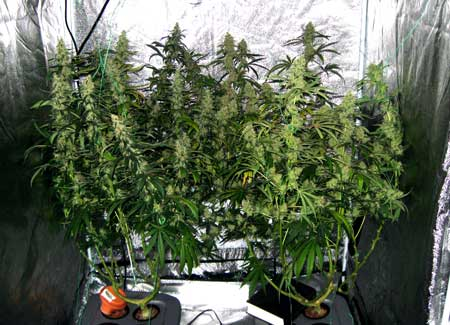 Many huge colas evenly spaced to take the best advantage of your cannabis grow lights