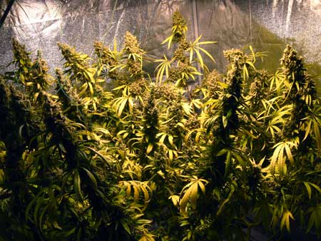 Wonder Woman is a very high-yielding strain - a single plant can produce over 12 ounces!
