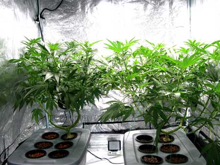 These two manifolded marijuana plants have been main-lined to produce many main colas