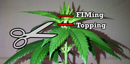 Topping vs FIMing a cannabis plant diagram