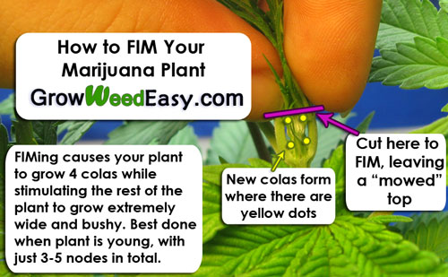 FIMing your cannabis plant can create up to 4 colas at once