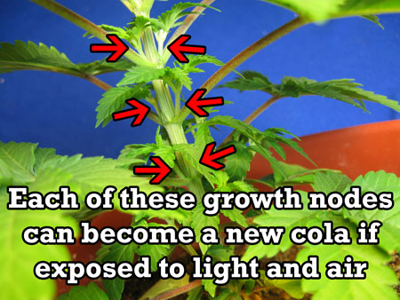 These growth nodes can become colas when exposed to light and air