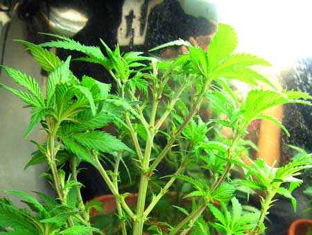 New colas emerge from growth tips - this plant was plucked so you could see the