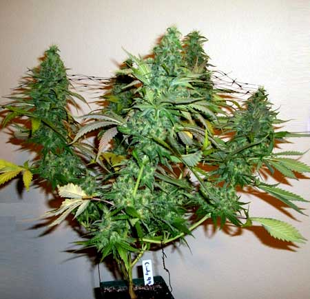 Trained cannabis plants like this one make better use of indoor grow lights than untrained plants